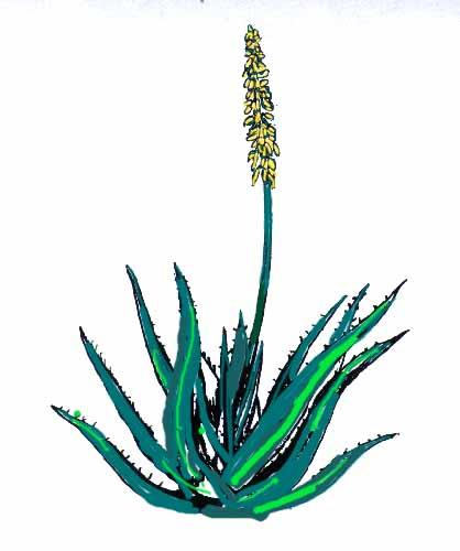 Alo s la plante qui gu rit questions r ponses aloe vera - Ou trouver de l aloe vera en plante ...